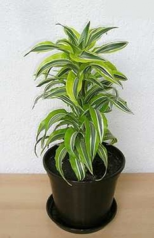 بالصور اليك افضل 10 نباتات لتنقية الهواء داخل المنزل 1433501318.311449.inarticleLarge