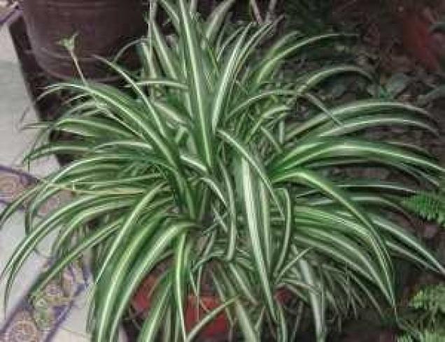 بالصور اليك افضل 10 نباتات لتنقية الهواء داخل المنزل 1433501421.993921.inarticleLarge